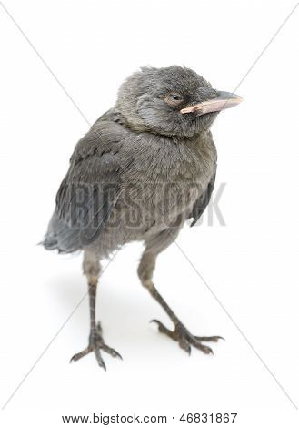 Bird Close-up Isolated On White Background