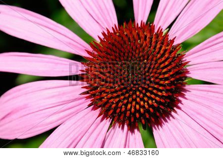 Echinacea Flower Macro