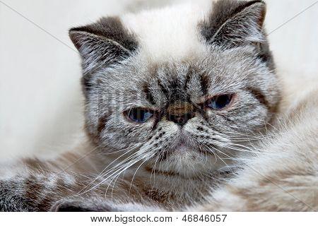 Gatito exótico de pelo corto