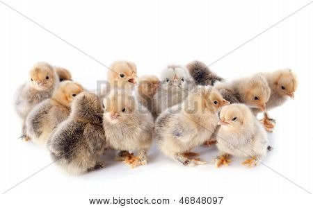 Young Chicks