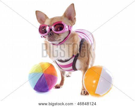 Beach Chihuahua