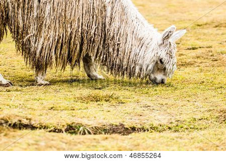 Peruvian alpaca , in natural background .