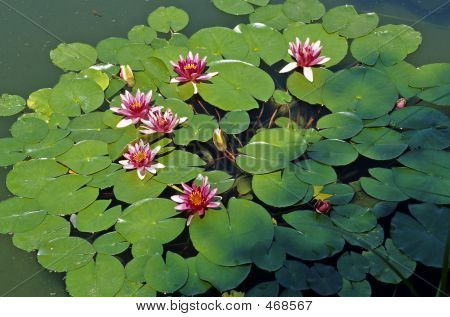 Water Lilies 02