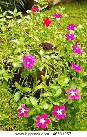 Colorful Vinca Flowers In Pots.