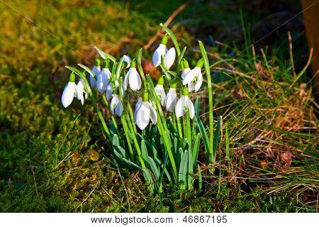 Snowdrops In The Grass