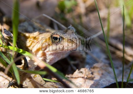 Rana Temporaria, Common Frog