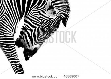 Striped Stallion