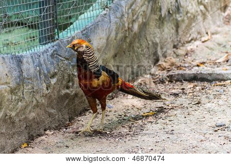 Orange Pheasant In Chiangmai Zoo , Thailand