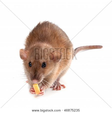 Fancy Rat (rattus Norvegicus) Eating Piece Of Cheese