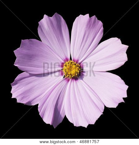 Isolated Blossom Of A Purple Flower