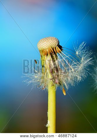 The Lonely Flower Of A Dandelion Stops To Blossom