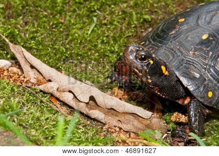 Spotted Turtle