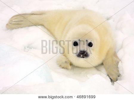 Cachorro de foca bebé en el hielo del mar blanco