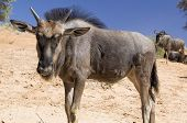 Young Blue Wildebeest
