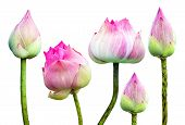 Beautiful Pink Lotus Flower Isolated