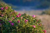 stock photo of dog-rose  - Briar  - JPG