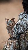 pic of screech-owl  - An Eastern Screech Owl in a hallowed out tree. Blending into the surroundings.