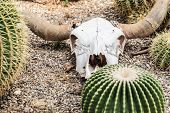 picture of nea  - a bleached buffalo skull on the ground neas some cactus in a barren desert - JPG