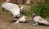 stock photo of pigeon loft  - White Pigeons Bird copulating summer time decorative doves - JPG