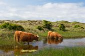 picture of highland-cattle  - Highland cattle drinking water in Dutch dunes at wadden island Texel - JPG