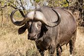 image of cape buffalo  - A tempered african buffalo bull grazing in the bush - JPG