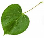 image of linden-tree  - Green leaf linden tree shape heart  isolated on white background - JPG