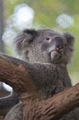 Curious Koala On The Tree