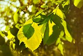 foto of elm  - Green leaves of elm in a beautiful backlit - JPG