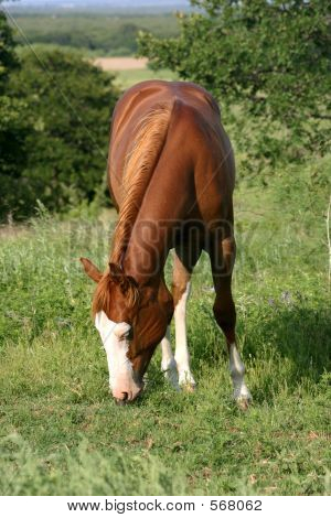 Picture or Photo of Sorrel filly grazing in summer pasture.