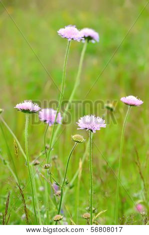Succisa Pratensis Flowers On Meadow