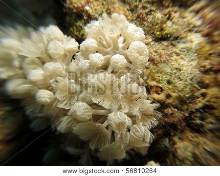 Umbrella xenia soft coral