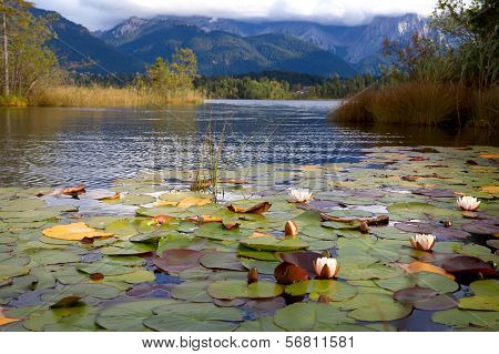 Water Lily Flowers On Barmsee Lake