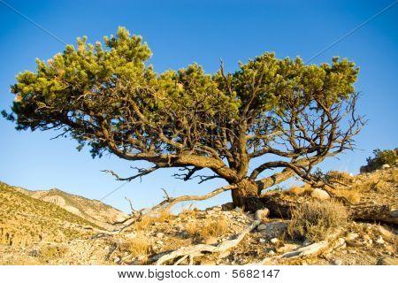 Utah Pinyon