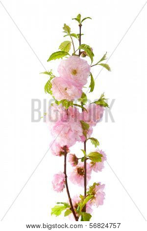 pink flowers isolated on white background. Amygdalus triloba.