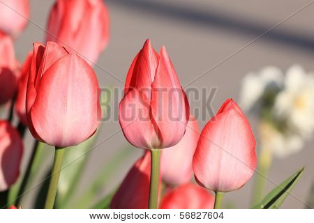 Blooming spring flowers-Tulips
