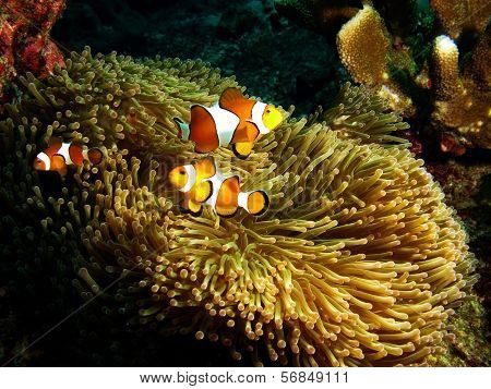 Nemo family protecting their anemone home underwater