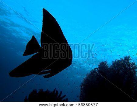 Longfin Batfish shadow silhouette underwater