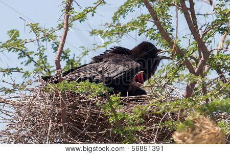 Cape Crow (corvus Capensis)