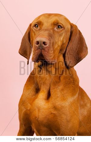 Hungarian or Magyar Vizsla isolated over blue background