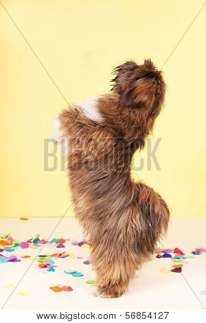 Lhasa Apso dancing in confetti in front of yellow background
