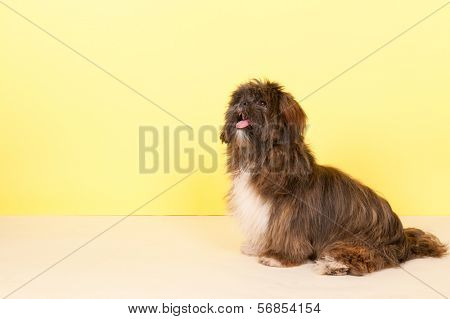 Portrait Lhasa apso in front of yellow background