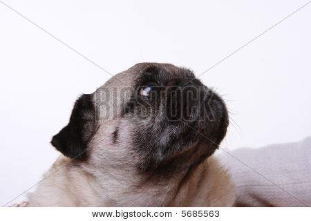 Head Shot Of A Pug