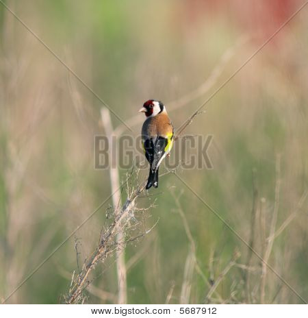 Goldfinch (carduelis)