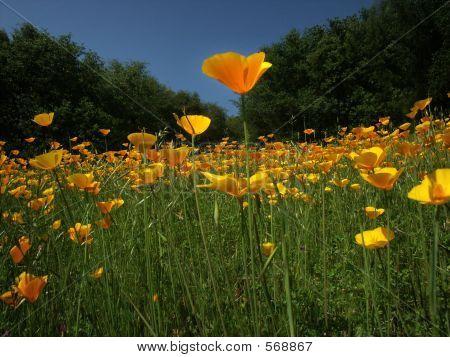Poppy Among Poppies
