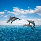 stock photo of bottlenose dolphin  - pack of  of jumping dolphins - JPG