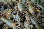 stock photo of crawfish  - There are many crawfishes on the photo. Crawfishes are green because the are vitality.