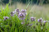 stock photo of plant species  - This summer flower is a thyme - JPG