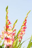 picture of gladiola  - Gladiola flowers and blue sky in background - JPG