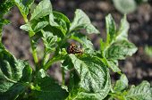 picture of potato bug  - coitus of two Colorado beetles on potato bush - JPG