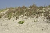 pic of sea oats  - A white sandy beach with recently regenerated sea oats South Carolina - JPG